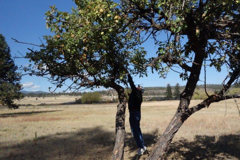 Apple trees at Ft. Spokane, 2016