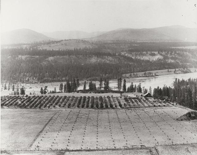 An orchard near Ft. Spokane.