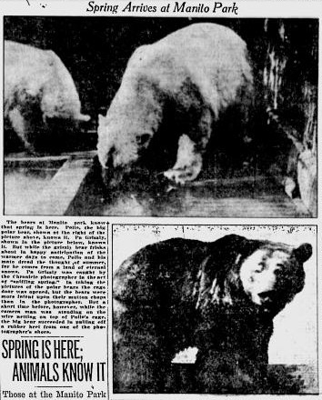Polar Bears and Grizzly Bears at the Manito Zoo (Courtesy Google News Archives).